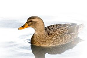 mallard-duck2