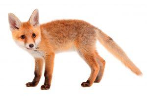 fox-flip-trimmed-2