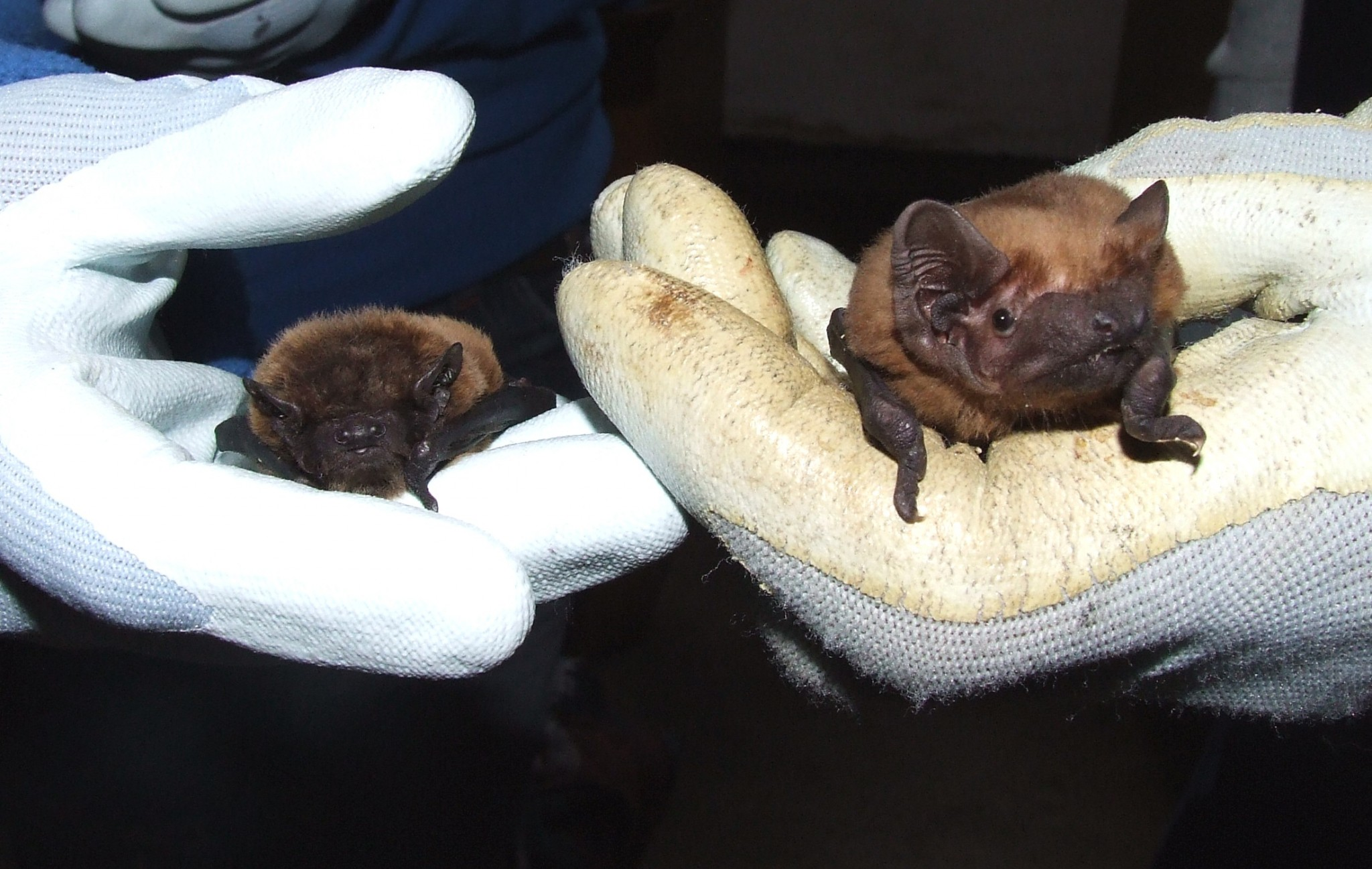 Discovering Bats Day